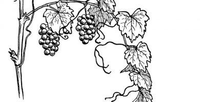 Hojas para colorear uvas