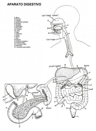 Sistema Digestivo Para Colorear
